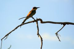 European bee eater. The European bee eater Royalty Free Stock Image
