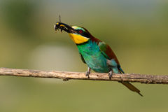 European bee eater with a bee in its beak Royalty Free Stock Photography