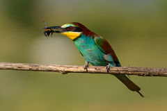 European bee eater with a bee in its beak Royalty Free Stock Photo