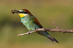 European bee eater with a bee in its beak Stock Photography