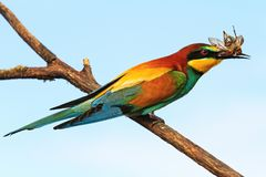 European bee-eater with a beetle in its beak. Wildlife, warming, animals Stock Images