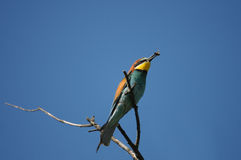 European Bee-eater bird (Merops apiaster) Royalty Free Stock Photos