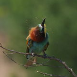 European bee-eater on branch Royalty Free Stock Image