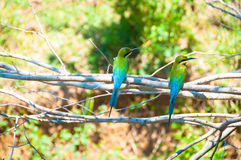 European bee-eater, on the branch Royalty Free Stock Photography