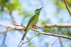 European bee-eater, on the branch Stock Photography
