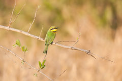European bee eater Stock Image