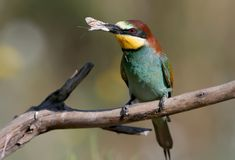 European bee eater with a butterfly in its beak. Sits on the branch on nice blurred background Royalty Free Stock Photography