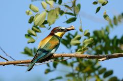 European Bee Eater. A bee eater with a catched insect Stock Photo