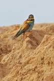 European bee-eater couple Royalty Free Stock Images