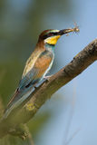 European bee eater eating a bee, France Royalty Free Stock Photos