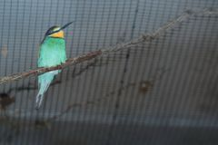 European bee-eater. Sitting on the branch Royalty Free Stock Image