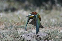 European bee-eater Merops apiaster Stock Images