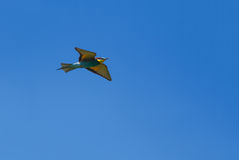 European bee-eater flying Stock Image