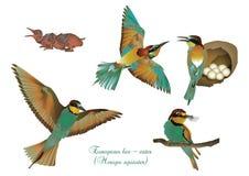 European bee-eater Royalty Free Stock Image
