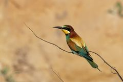 The European bee-eater is an incredibly colourful bird stock images