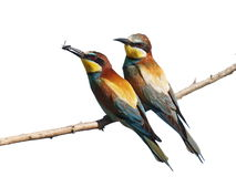 European Bee eater isolated on white Stock Images