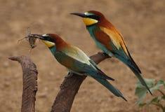 European bee-eater Stock Photography