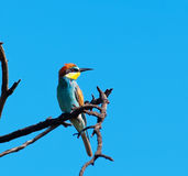 European Bee-eater looking left Stock Images