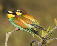 European Bee Eater Royalty Free Stock Photo