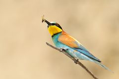European bee-eater (Merops Apiaster) Royalty Free Stock Image