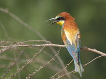 European Bee eater Merops apiaster Stock Photo