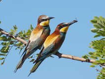 European Bee eater Merops apiaster Royalty Free Stock Image
