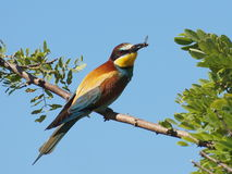 European Bee eater Merops apiaster Stock Photos