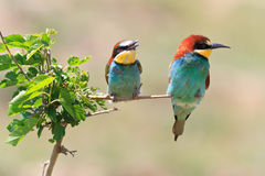 European bee eater (Merops Apiaster) Royalty Free Stock Photo