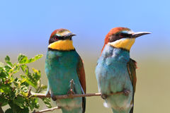 European bee eater (Merops Apiaster) Stock Photo