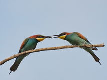 European bee-eater, Merops apiaster Royalty Free Stock Photography