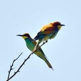 European bee-eater Royalty Free Stock Photo
