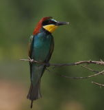 European bee eater Stock Photography