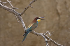 European bee-eater Royalty Free Stock Image