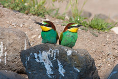 European bee-eater Stock Image