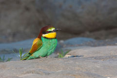 European bee-eater Royalty Free Stock Images