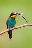 European Bee-eater, Merops apiaster, beautiful bird sitting on the branch with dragonfly in the bill, action scene in the nature h Royalty Free Stock Photography