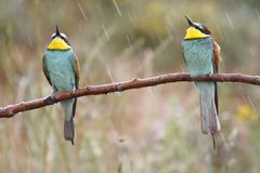 European bee-eater, Merops apiaster, beautiful colored bird royalty free stock images