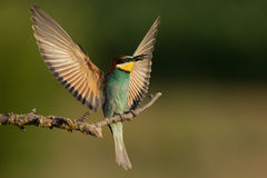 European Bee-Eater Merops apiaster, with bee  Stock Image