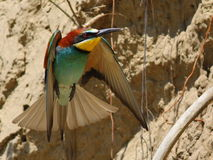 European bee-eater, Merops apiaster Royalty Free Stock Images