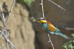 European bee-eater Merops apiaster on the branch. Royalty Free Stock Photos