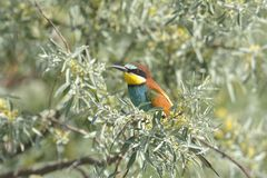 European bee-eater Merops apiaster on the branch. Stock Image