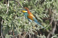 European bee-eater Merops apiaster on the branch, Royalty Free Stock Photos