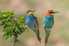 European bee eater (Merops Apiaster) Royalty Free Stock Images