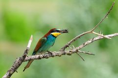 European bee-eater Merops apiaster with caught dragonfly sitting on the branch. Stock Image