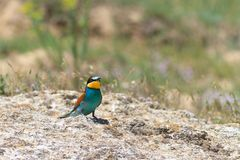 European bee eater Stock Images