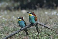 European bee-eater Merops apiaster Royalty Free Stock Photo