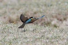 European bee-eater Merops apiaster Royalty Free Stock Image