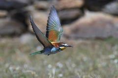 European bee-eater Merops apiaster Stock Photography
