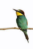 European Bee-eater (Merops apiaster). Stock Images