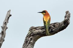European bee-eater (Merops apiaster) Royalty Free Stock Images